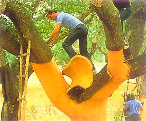 Снятие коры с пробкового дуба